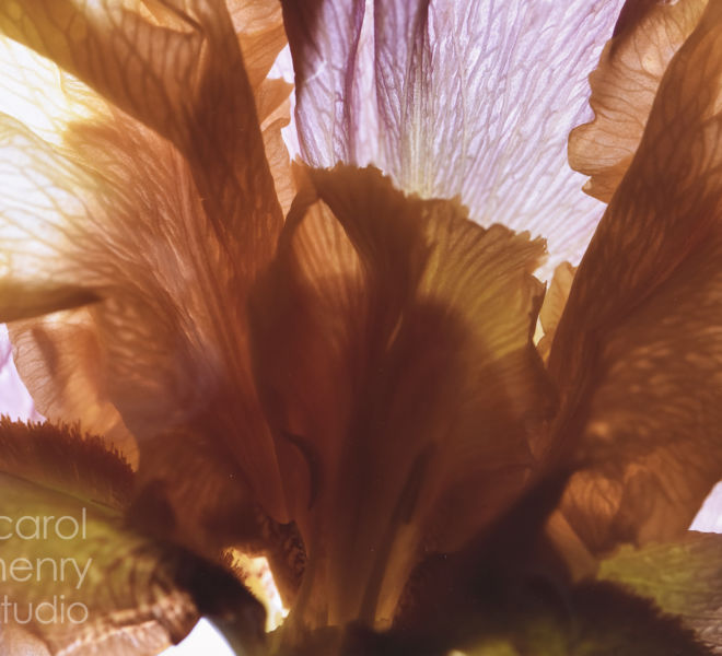 PeachPurple Iris