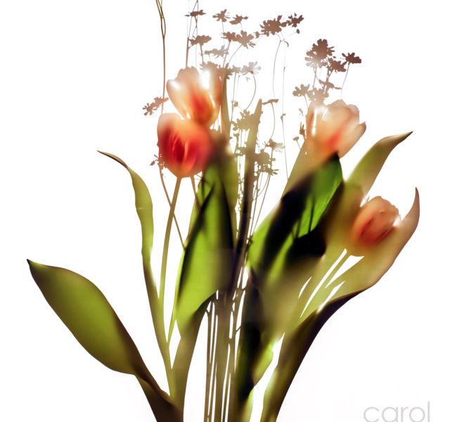 Tulip Camomile
